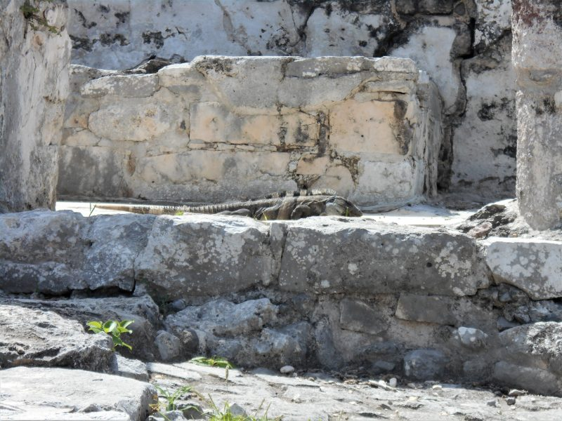 iguana-sito archeologico tulum