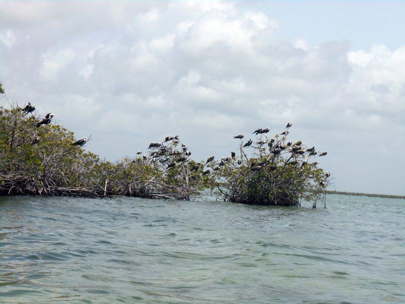 uccelli-mangrovie -sian kaan